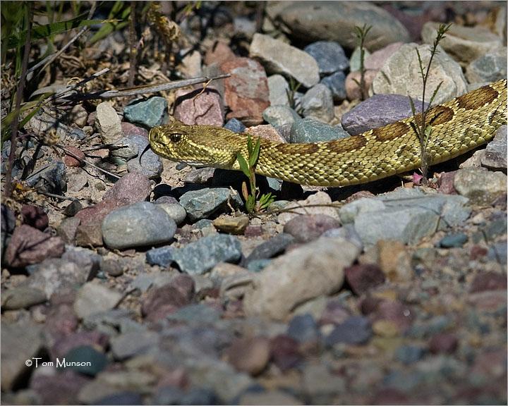 Western Diamondback   (Rattlesnake)
