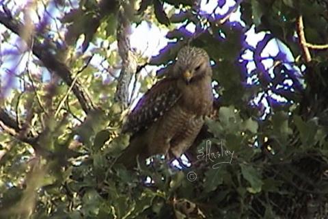 Red-shouldered Hawk on nest   b
