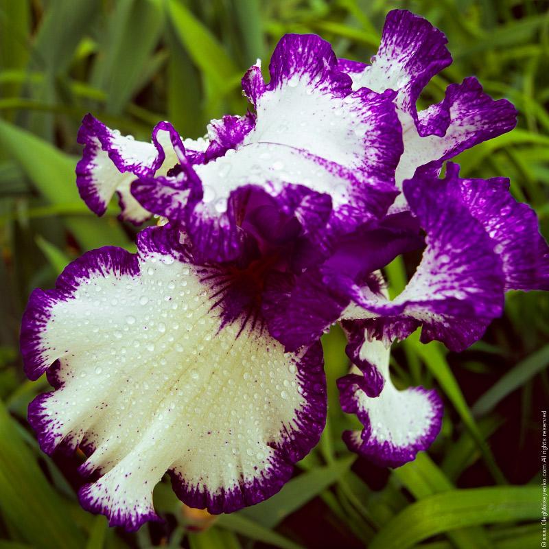 Iris Flower in Rain Droplets