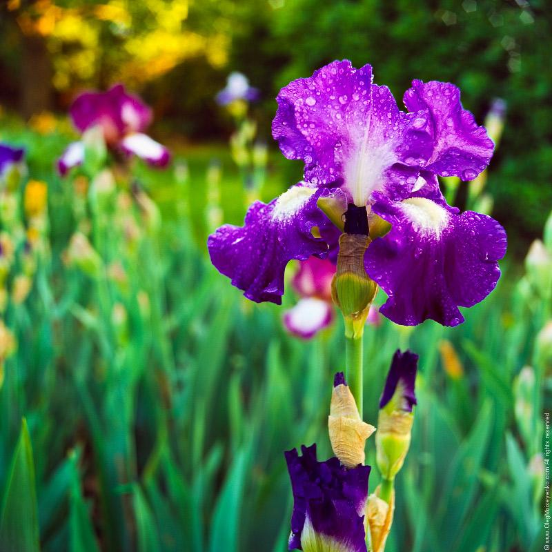 Iris Flower under Rain