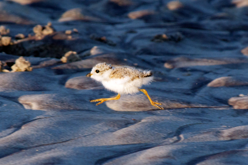 Piping Plover chick on the run 6-15-10