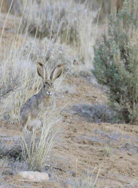 Jack Rabbit in Arches National Park _DSC3065.jpg