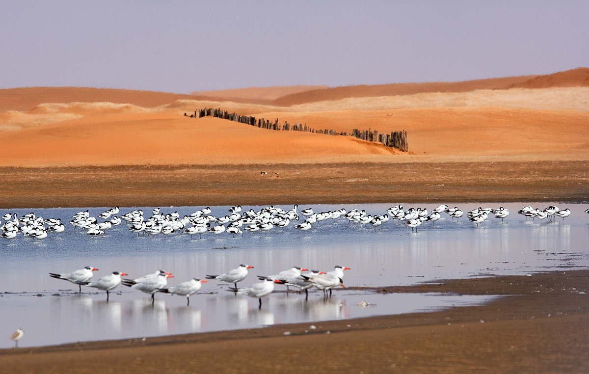 Avocets and Caspian Terns