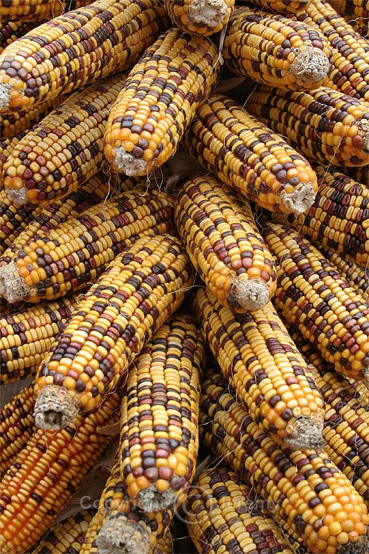 Maize (Oct 06)