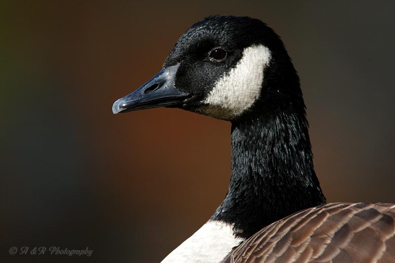 Goose pb.jpg