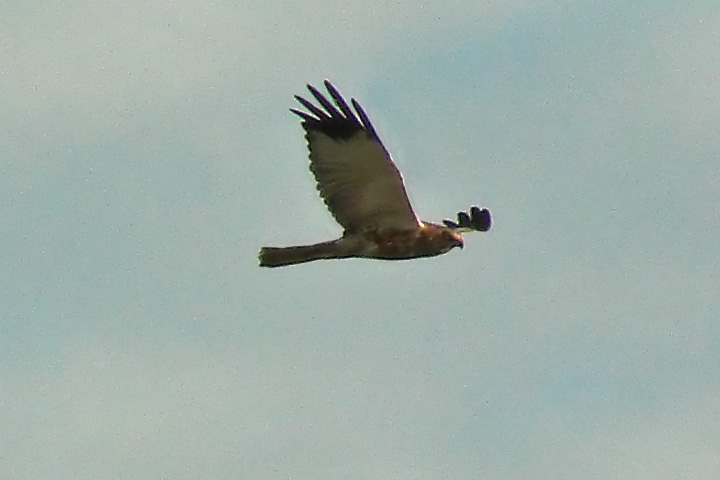 Western marsh-harrier.jpg