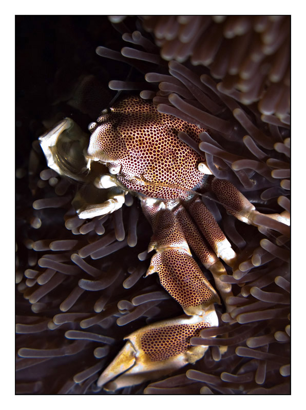 Porcelain crab in Phuket anemones
