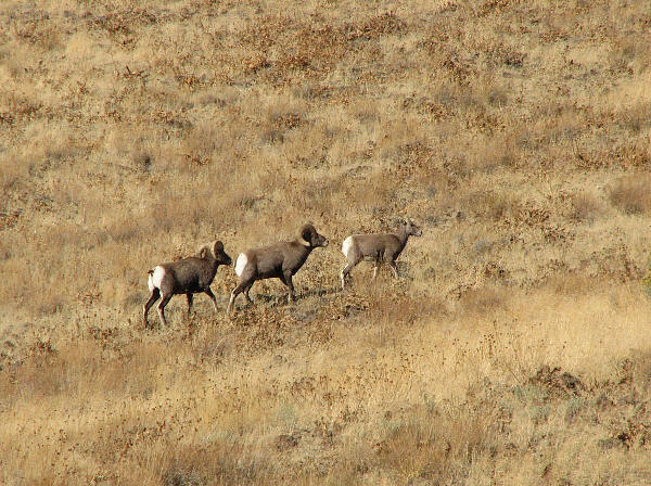 IMG_1770Bighorn ewe and rams.jpg