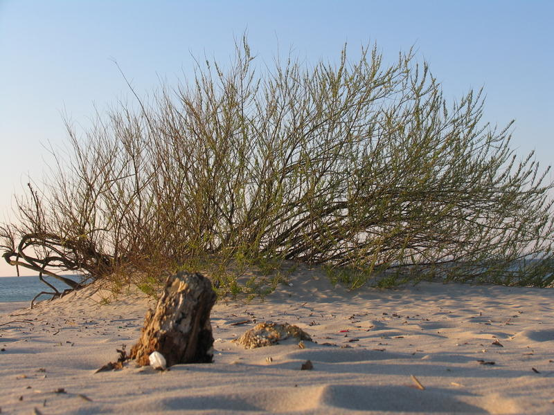 Willow Living on bare sand