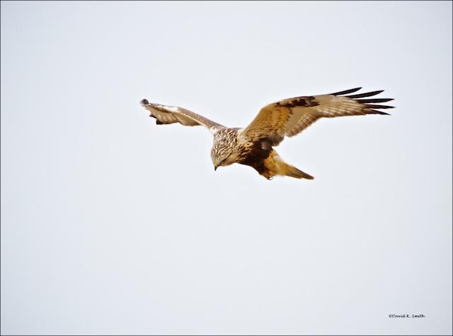Rough legged hawk on the hunt