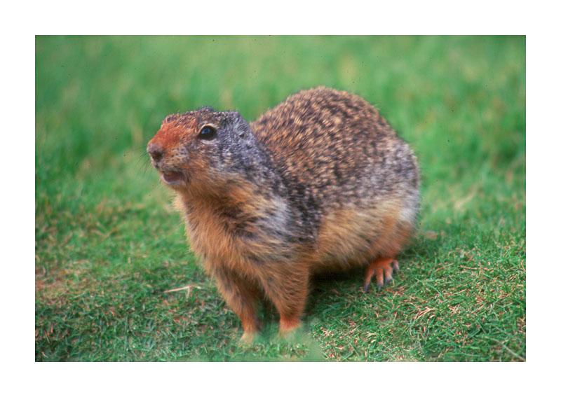 Columbia Ground Squirrel 1