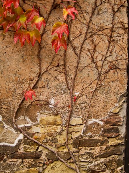 Grape Leaves 2