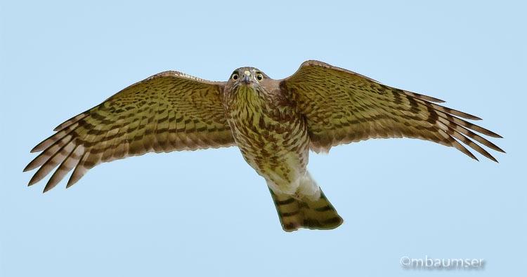 Coopers Hawk II