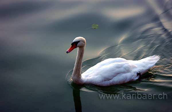 Schwan / Swan (2937)