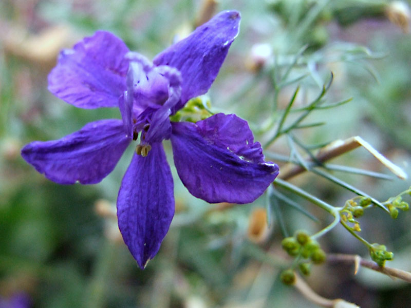 Tiny Blue Wildflower