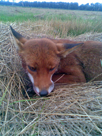 The story of the injured fox
