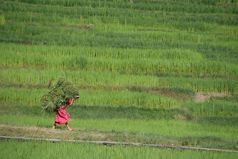 Woman Harvesting Crops near Bhaktapur 02