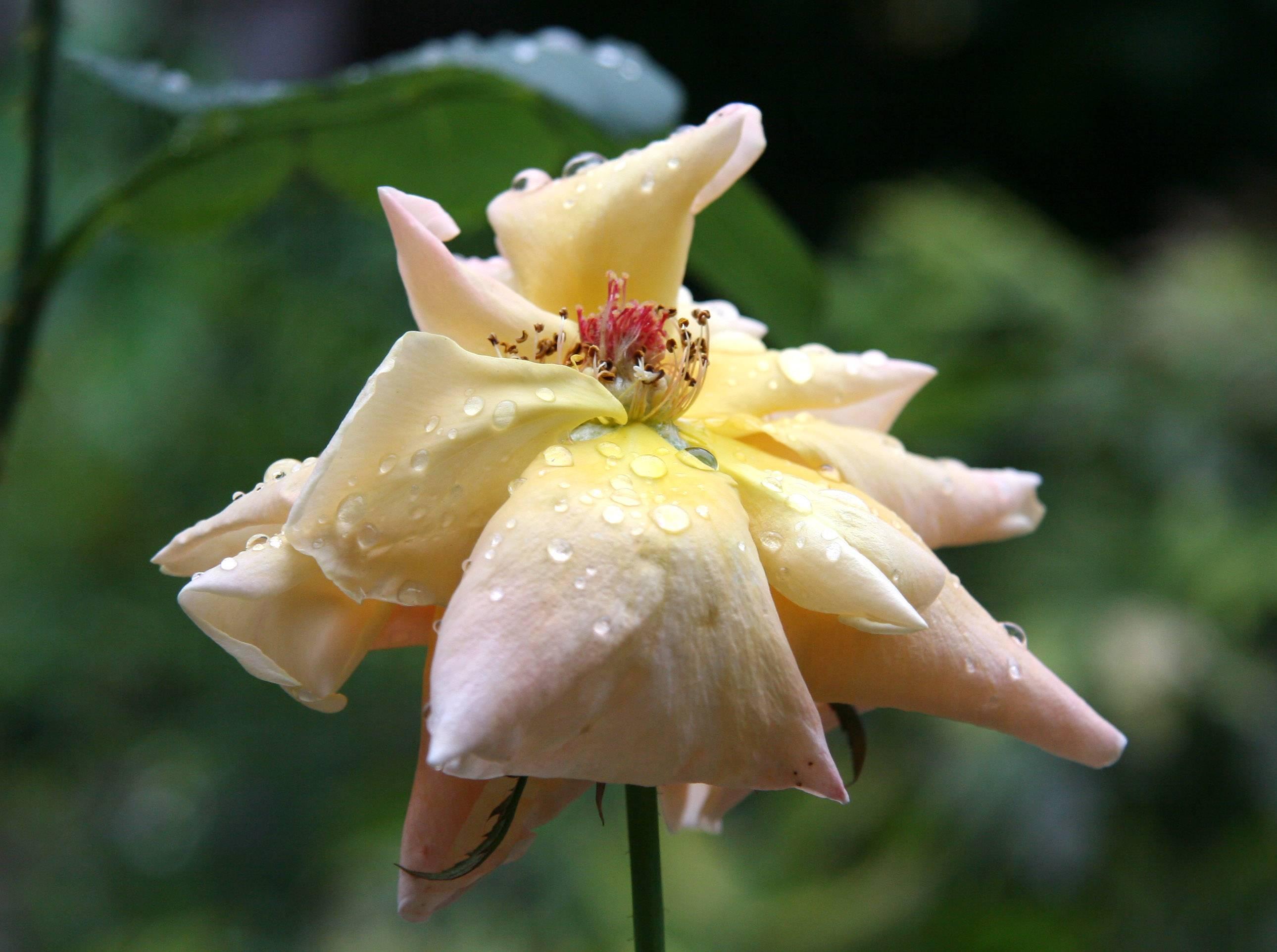 Rain on Rose Petals