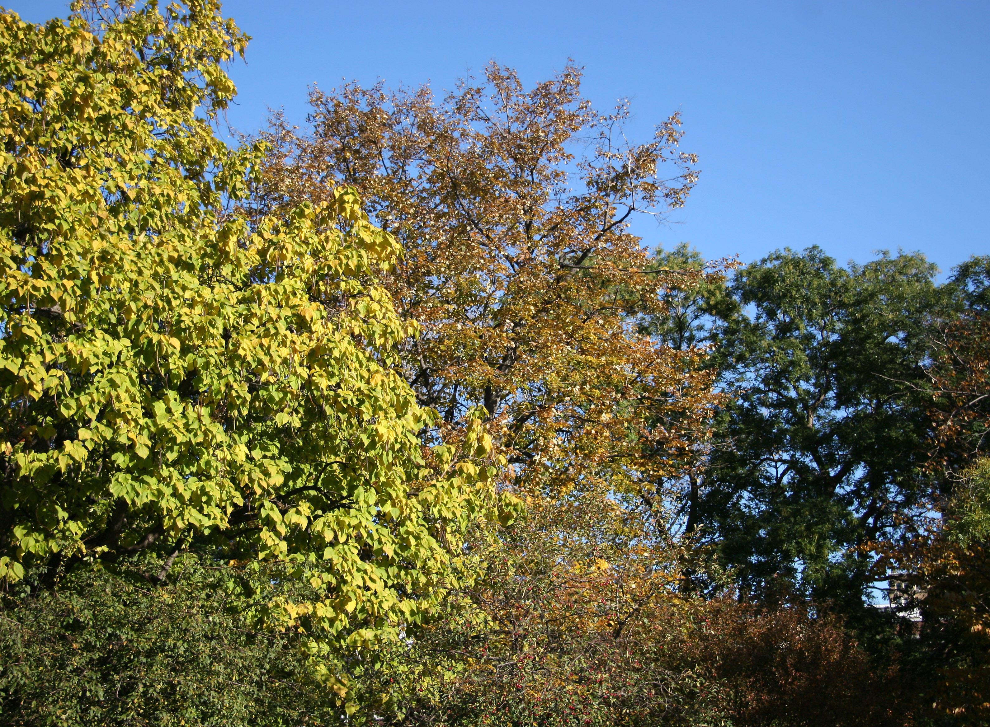 Catalpa, Oak & Linden Tree Foliage