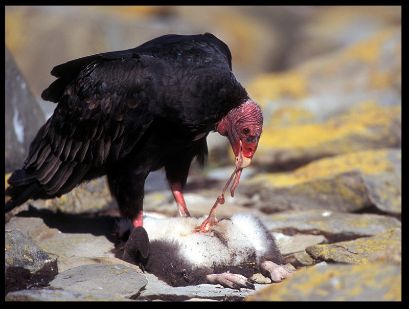 Turkey Vulture eating young Rockhopper...