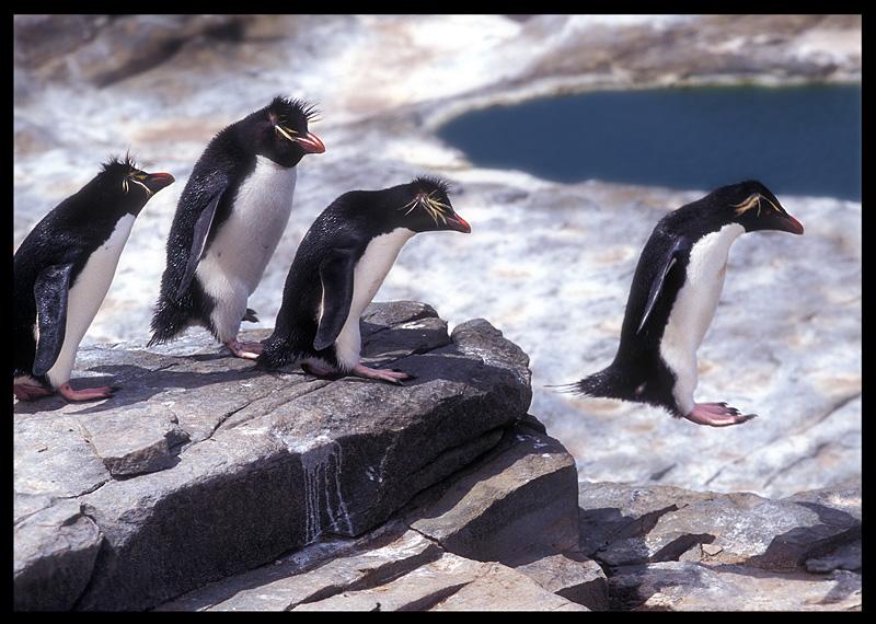 Rockhopper Penguins doing their best