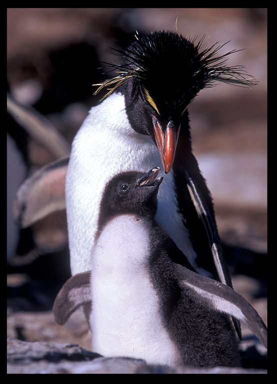 Rockhopper penguin and young