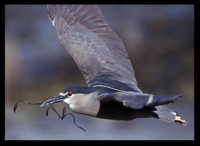 Black-crowned Night Heron (Falkland form cyanocephalus)