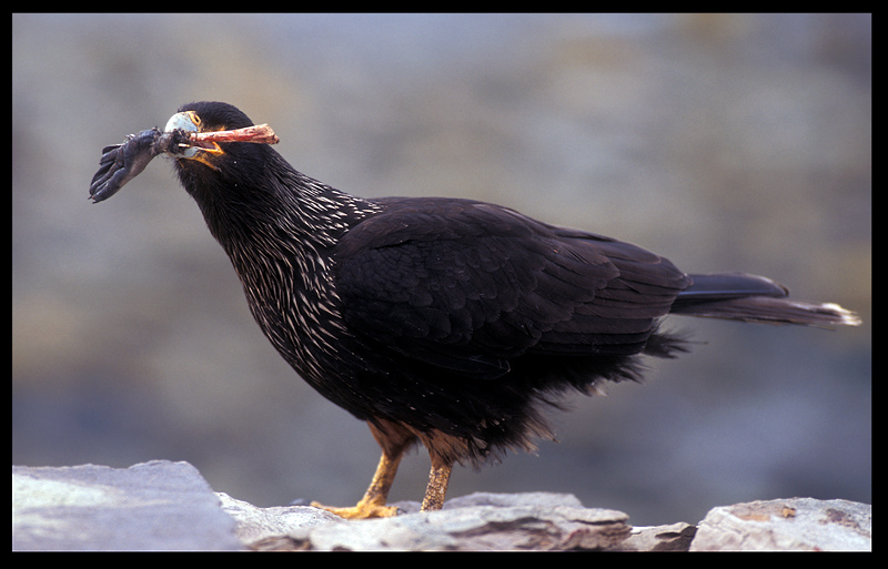 Striated Caracara with penguin leg