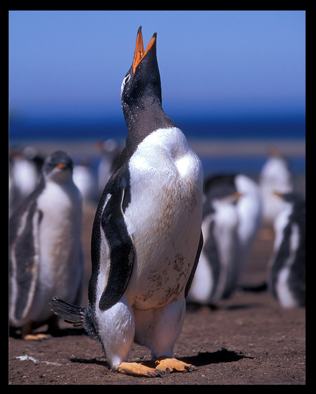 Gentoo Penguin - strong and beautiful