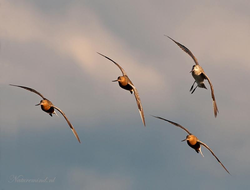 Bar-tailed Godwit - Rosse grutto PSLR-4395.jpg