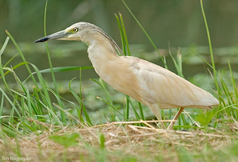 Ralreiger - Squacco heron - Ardeola ralloides