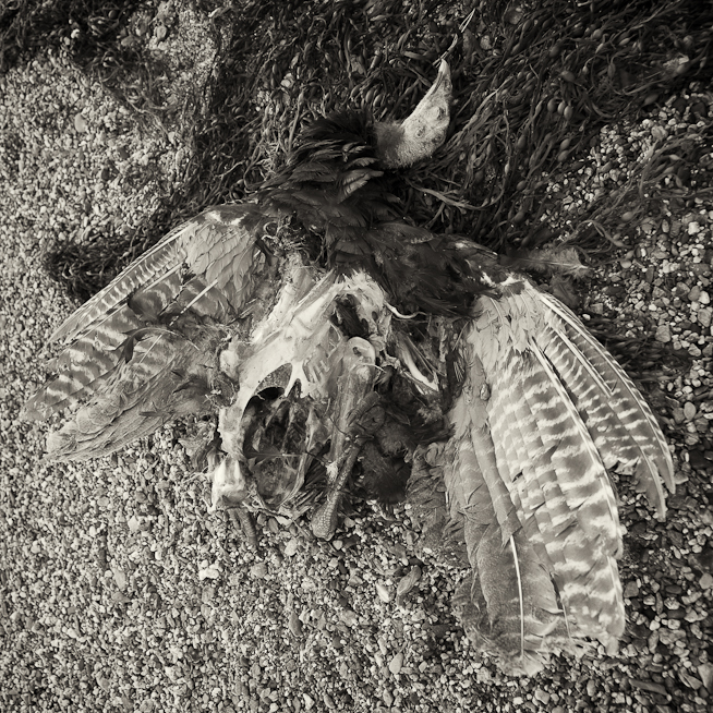 Turkey Carcass on the Beach