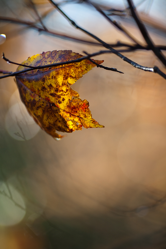 Last Leaf with Ghosts of Branches