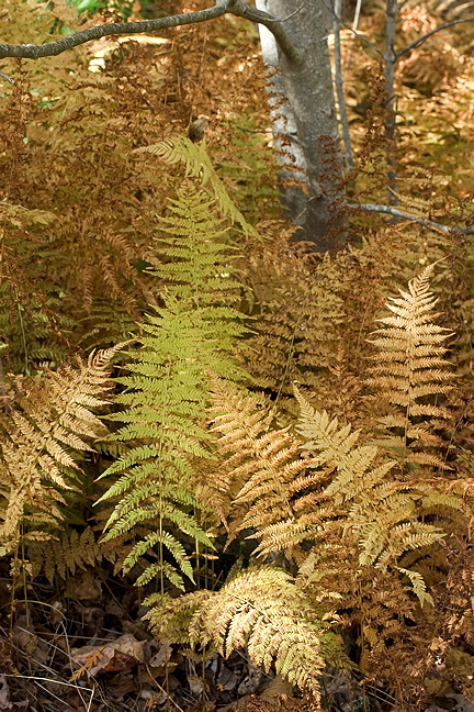 Autumn Ferns and Tree