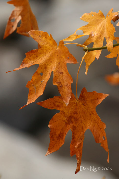 Fading Maple Leaves