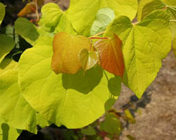 Cercis Hearts of Gold PPAF