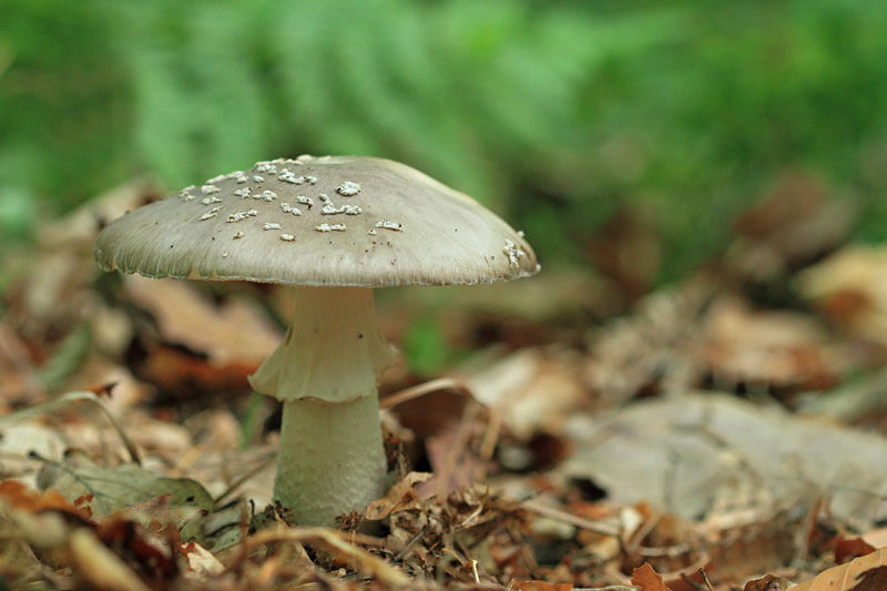 Grey spotted amanita  Amanita excelsa èokata mu¹nica_MG_80401-11.jpg