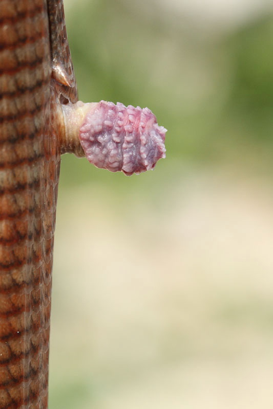 Everted hemipenis of glass lizard and rear leg_MG_5948-11.jpg