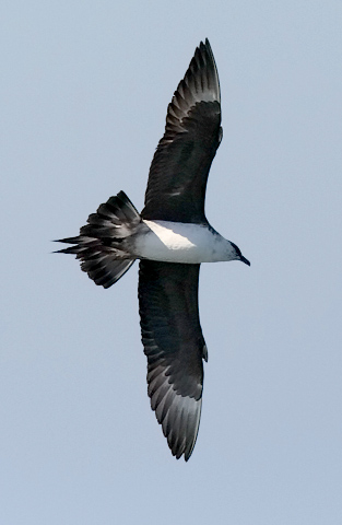 Parasitic Jaeger, basic adult (#1 of 4)