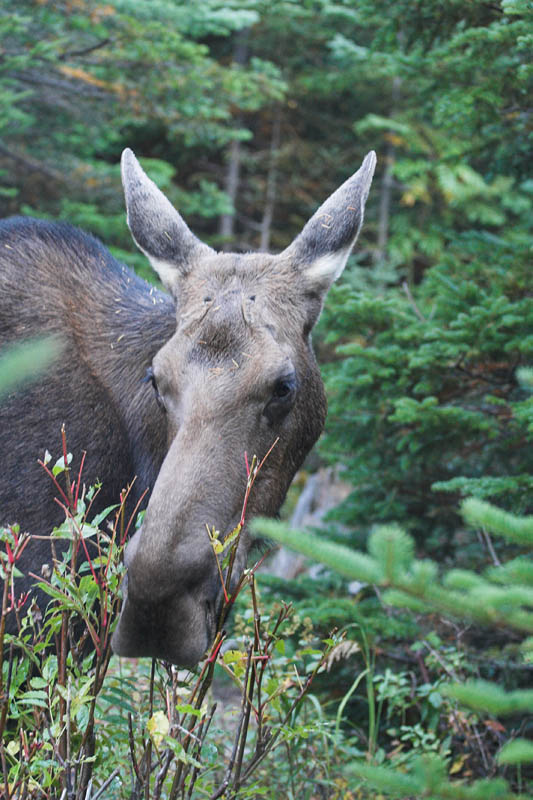 Early morning moose