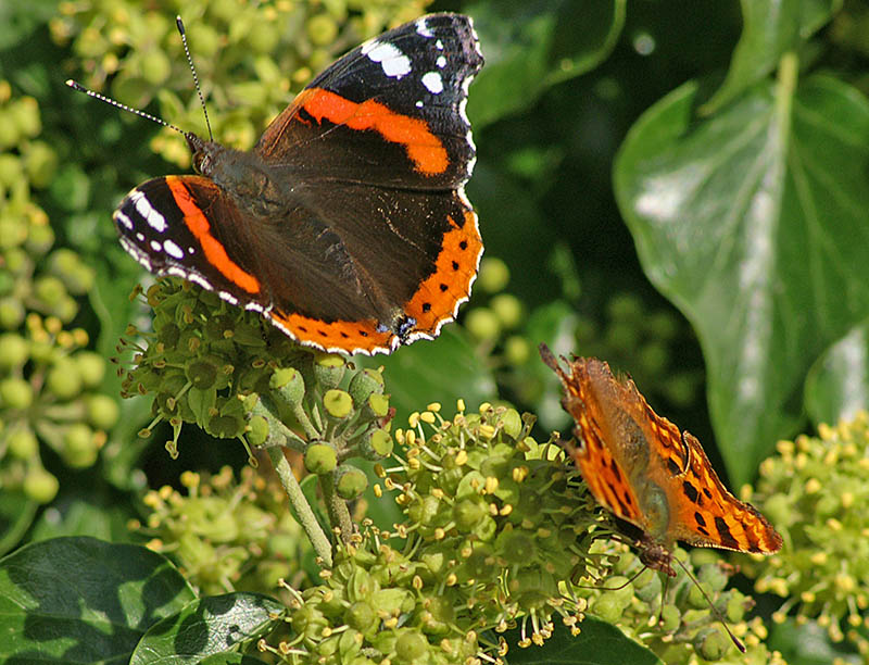 Red Admiral & Comma