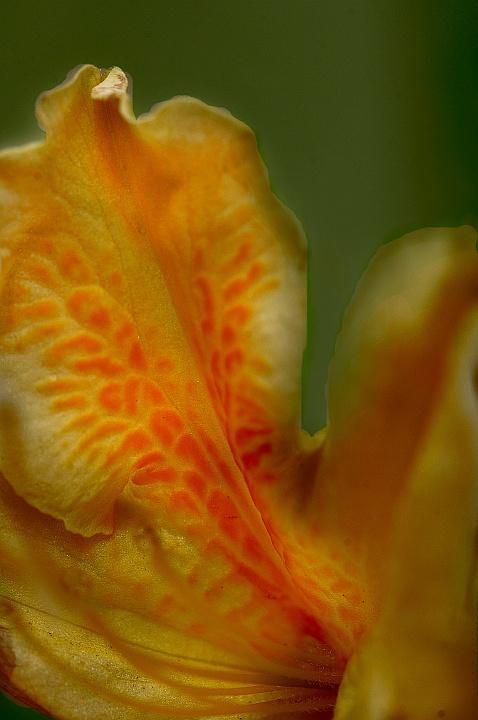 Mollis azalea