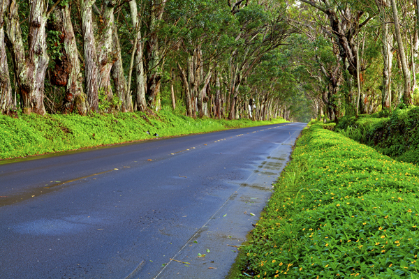 Tree lined road to Poi Pou Beach, Kauai, HI