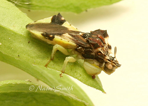 Jagged Ambush Bug #9448