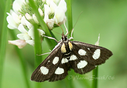 White-spotted Sable Moth #9811