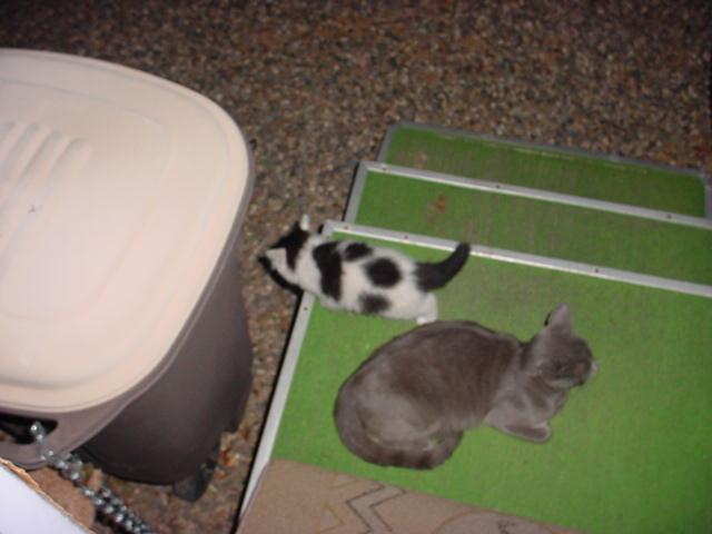 two tone kitty