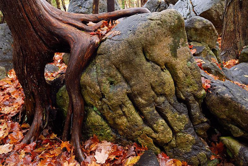 97 Cedar Root on Rock.jpg