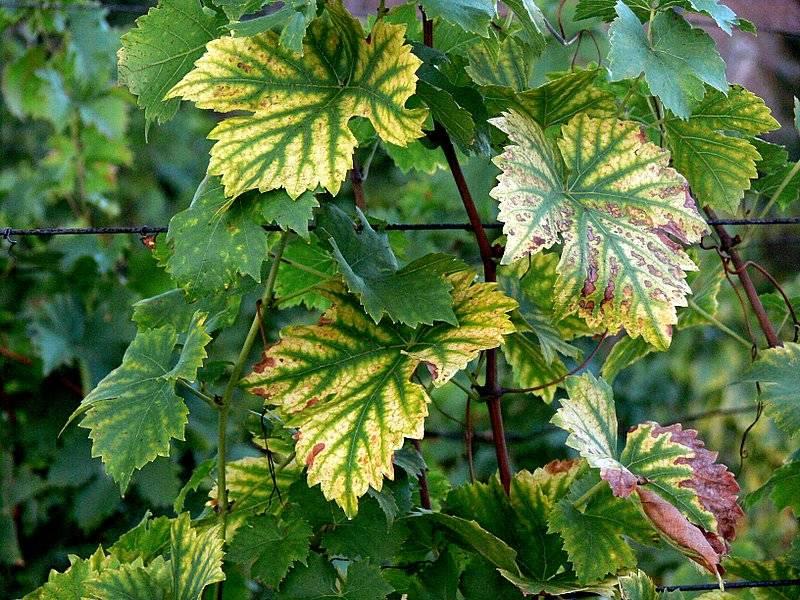 feuilles de vignes