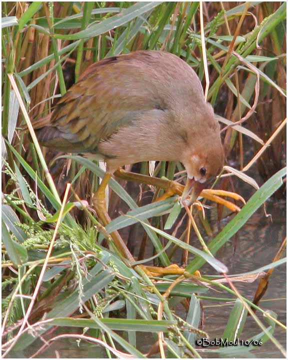 Purple Gallinule-Immature