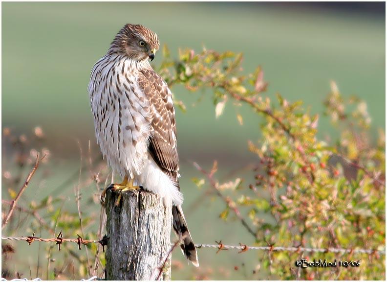 Coopers Hawk-Juvenile